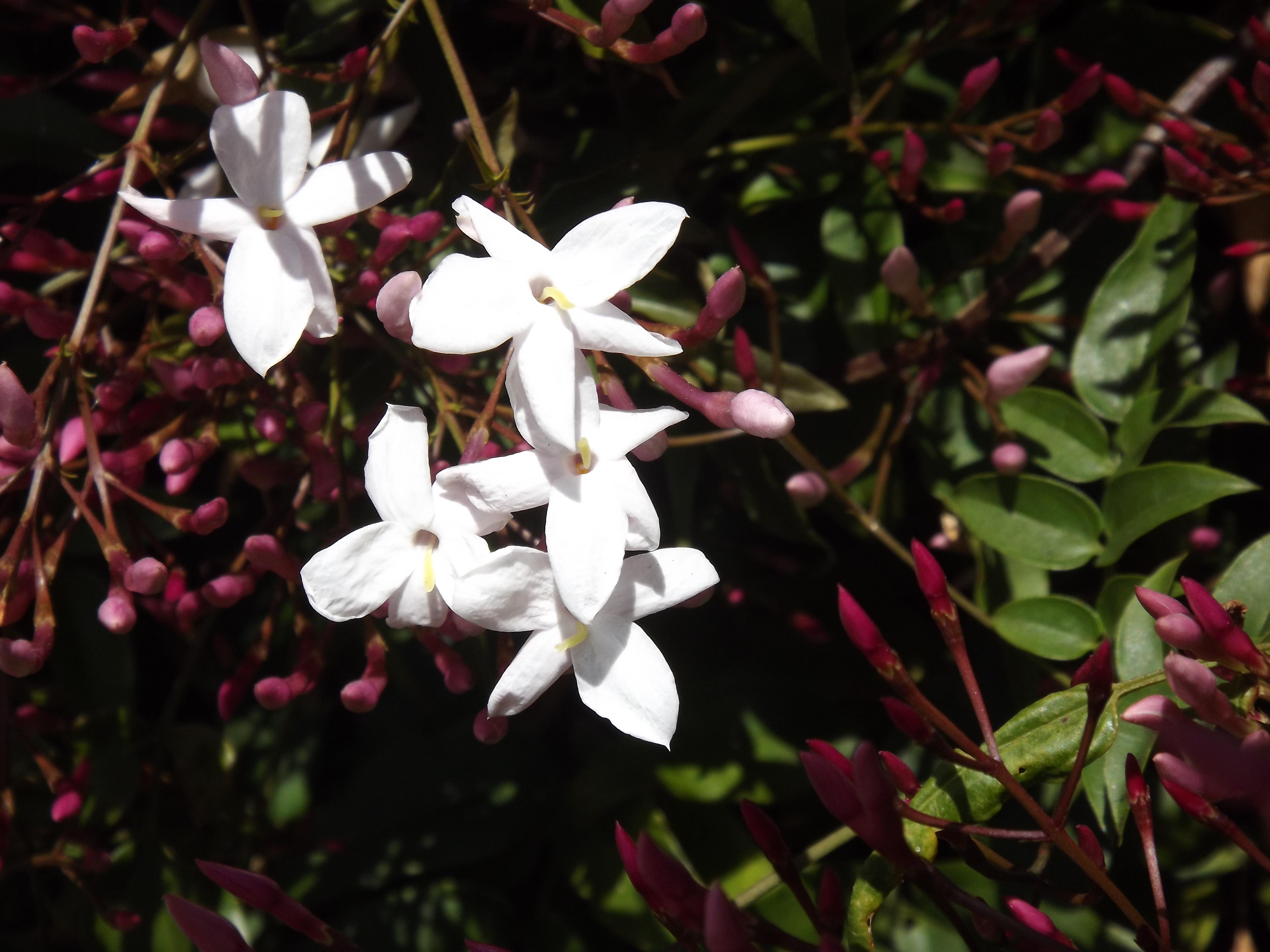 Jasmim-dos-poetas (Jasminum polyanthum)