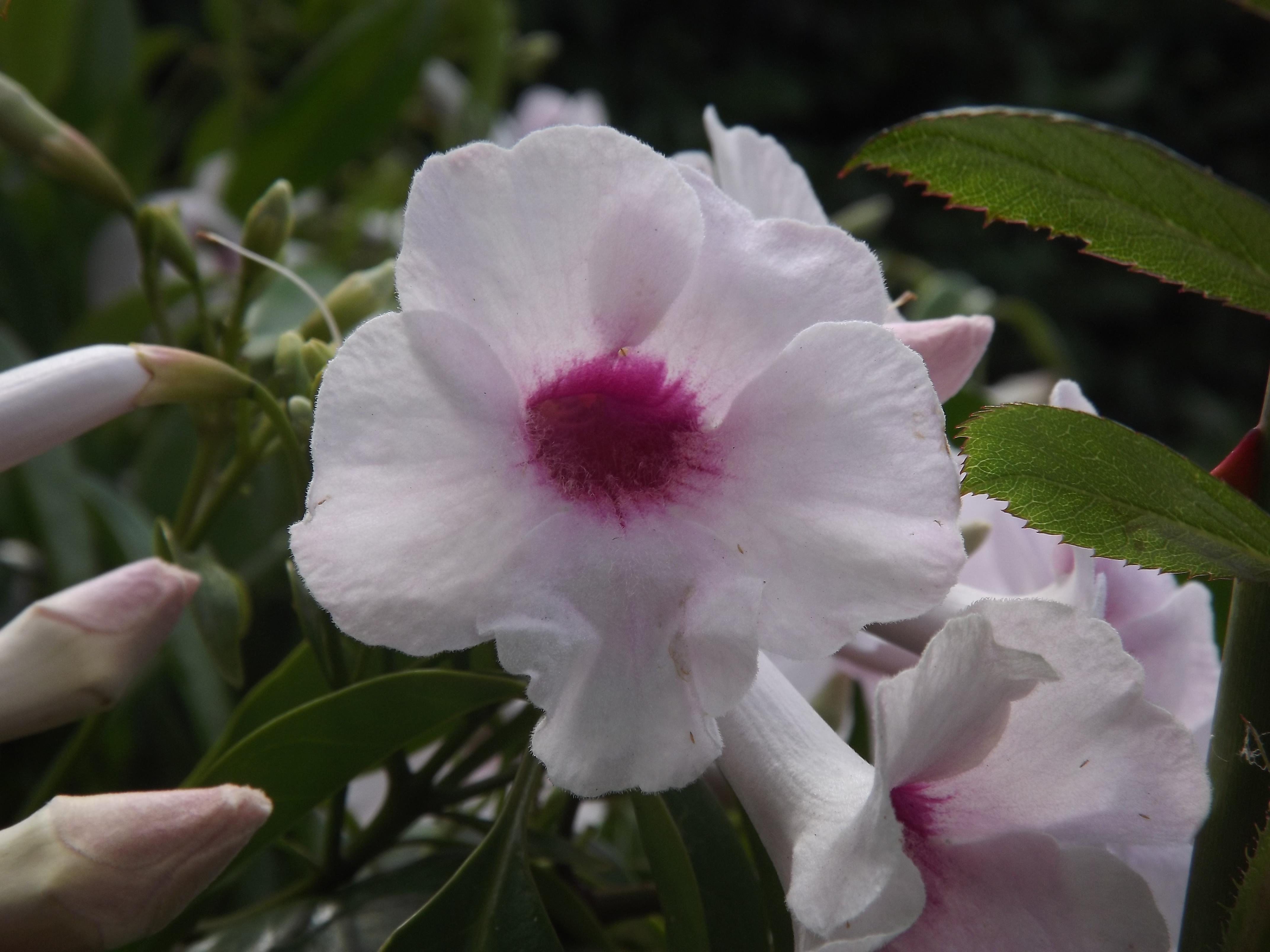 Trepadeira-de-arco (Pandorea jasminóides)