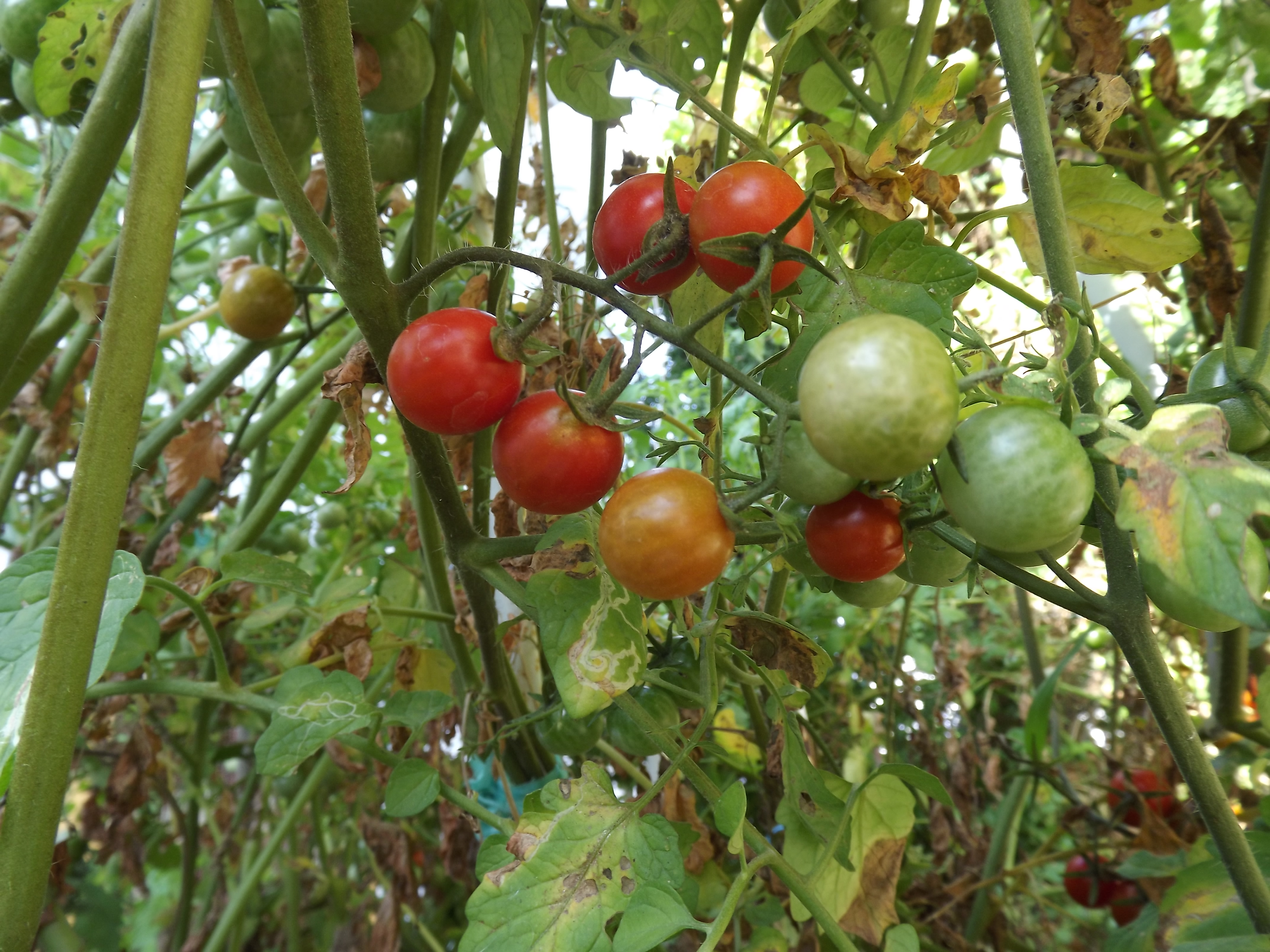 Tomate-cereja