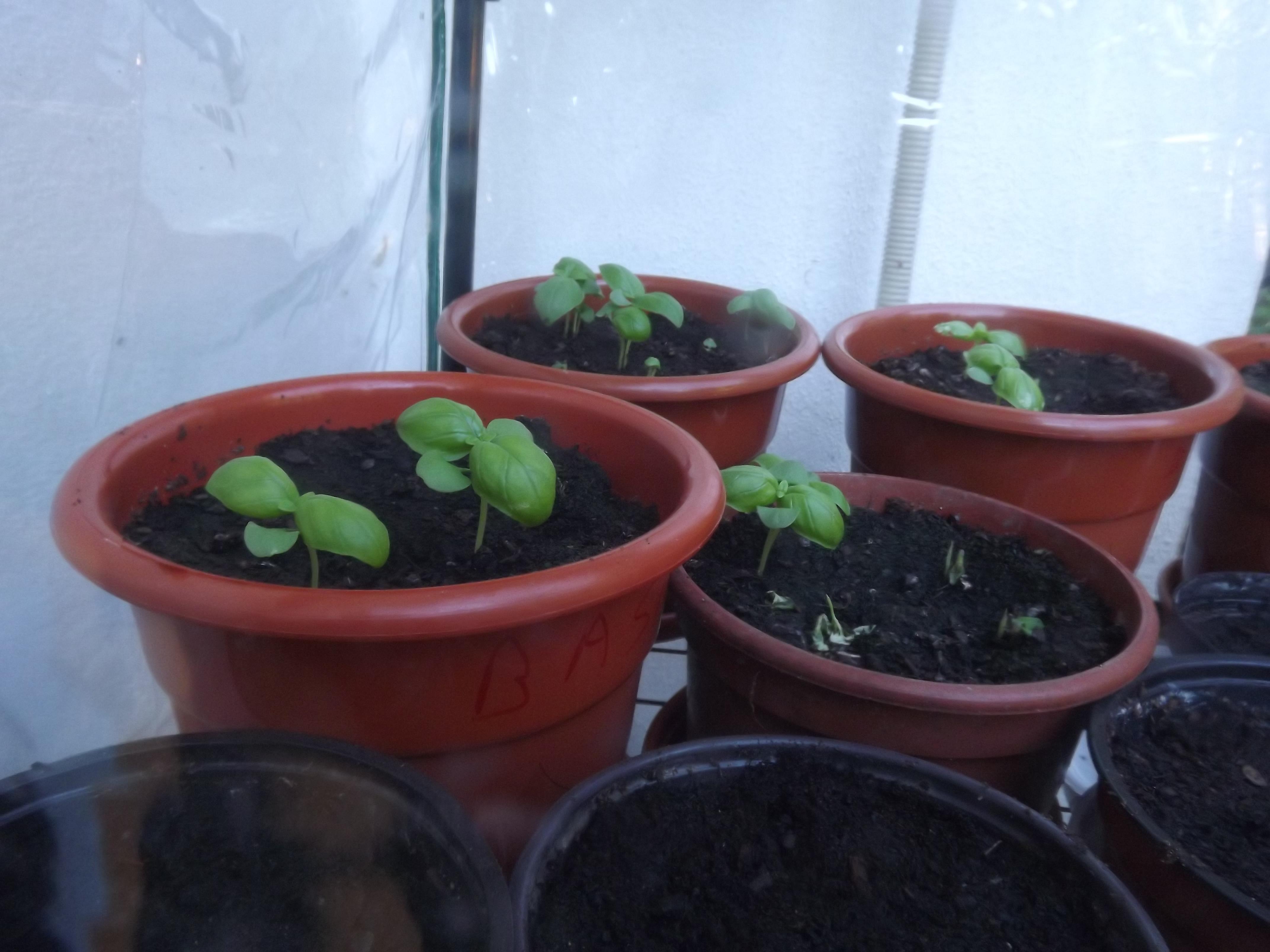 Manjericão (Ocimum basílicum)