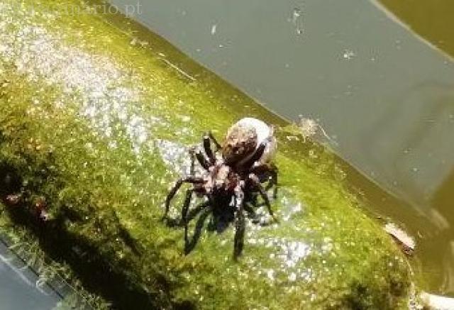 Aranha-lobo com saco dos ovos